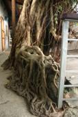 tree roots, treasure Hill Artists village Taipei