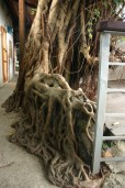 tree roots, treasure Hill Artists village Taipei