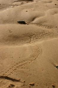 hermit crab tracks Coochiemudlo island