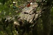 rainbow webs on Coochiemudlo trees