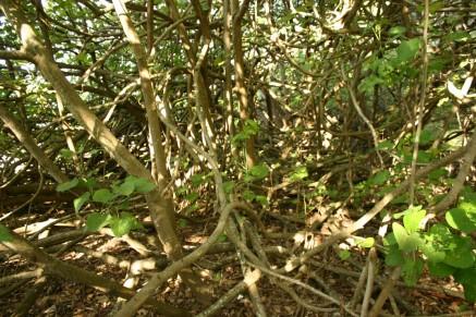 Coochiemudlo tangled trees