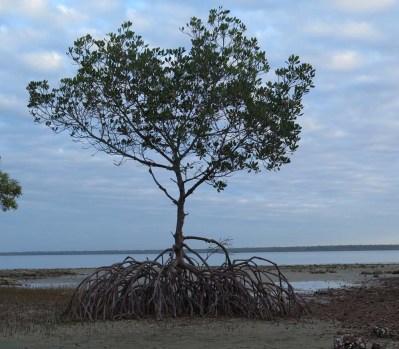 mangrove Weipa