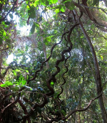 Daintree vines